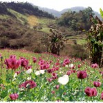 Mohn Mohnfeld Opium Myanmar Burma | Bild (Ausschnitt): © kein Copyright - wikimedia