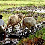 Kleinbauer pflügt in Myanmar. Kleinbauer pflügt in Myanmar. | Bild (Ausschnitt): © worak - Wikimedia Commons