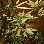 Cannabis  Bild (Ausschnitt): © Mario Antonio Pena Zapatería [CC BY-SA 2.0]  - flickr.com