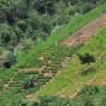 Koka-Plantage Anbau von Koka-Pflanzen in Bolivien | Bild (Ausschnitt): © CIAT [CC BY-SA 2.0]  - Wikimedia Commons