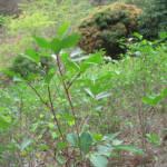 Koka-Pflanze in Peru Eine Koka-Pflanze wächst auf einem Feld in Peru | Bild (Ausschnitt): ©  Megan [CC BY-NC 2.0]  - Flickr