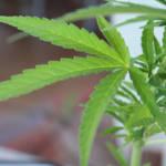 Marihuanapflanze Die Produktion von Marihuana ist in Paraguay stark angestiegen | Bild (Ausschnitt): © Gounsil [CC BY 2.0]  - Flickr