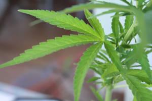Marihuanapflanze