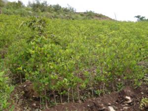 Koka-Pflanzen