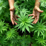 Marihuana  Bild (Ausschnitt): © Pedro Fabián Gutiérrez Vidrio  [CC BY-NC-ND 2.0]  - Flickr