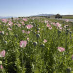 "Opiumfeld Afghanistan Durch den Anbau von Opium in Afghanistan wird Pakistan zum wichtigen Transitstaat im weltweiten Drogenhandel | Bild (Ausschnitt): ""BALA BALUK, Afghanistan--Opium fields ready for harvesting"" © ResoluteSupportMedia [CC BY 2.0]  - flickr"